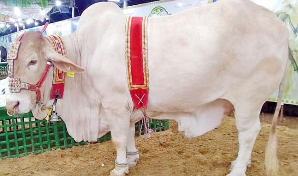 The Worlds Largest Cattle Market Karachi Part 1