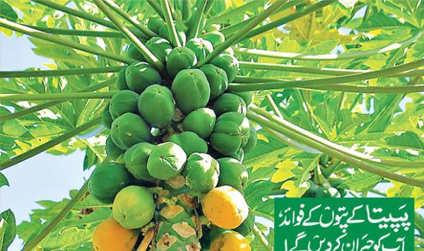 The Benefits Of Papaya Leaves Will Surprise You