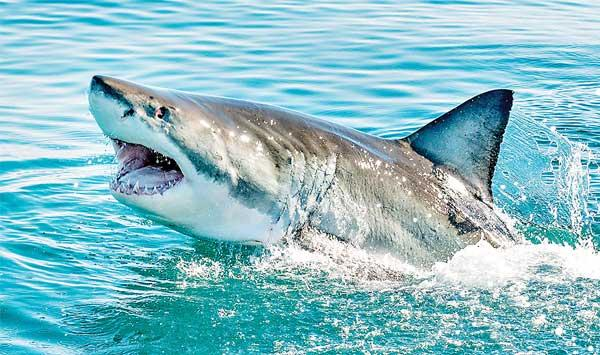 Competition Against Sharks