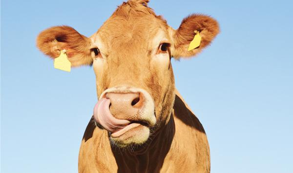 Can A Cow Digest Plastic